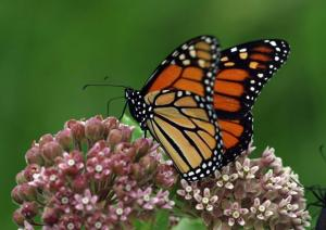 Monarch_closeup_0